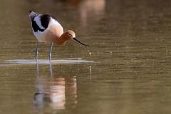 Swing that Beak (Jasper's Human) Tags: americanavocet bird wade water