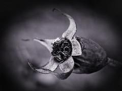 rose hip in b&w (zuiko12) Tags: mzuiko zuiko blume monochrome 60mm em1x omd olympus macro makro flower bw sw