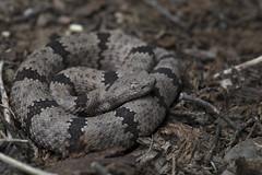 Banded Rock Rattlesnake (DevinBergquist) Tags: bandedrockrattlesnake rockrattlesnake crotalus crotaluslepidus crotaluslepidusklauberi cascabel viboradecascabel herping fieldherping wildlife nature newmexico nm