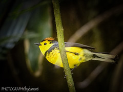 COLLARED REDSTART (PHOTOGRAPHY|bydamanti) Tags: puntarenas puntarenasprovince costarica cr collaredredstart yellow bird monteverdecloudforest