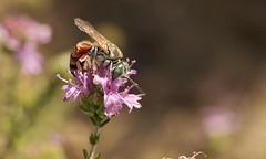 Tachytes argenteus f._1917 (Henrik Gyurkovics) Tags: tachytesargenteus tachytes argenteus crabronidae hymenoptera wasps greece rhodes faliraki squareheadedwasps