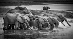 Happy Hour at the waterhole (Kevin Rheese) Tags: africa thirst elephant wildlife herd river namibia water rukange trunks drinking group mahangogamereserve drink animal zambeziregion na