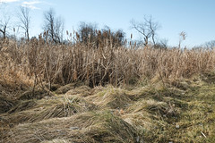 Afternoon Grass And Cats (Modkuse) Tags: classicchrome nature afternoon natural landscape winter winterlandscape art artphotography artistic photoart fineartphotography fineart fujifilm fujifilmxt2 xt2 xf1855mmf284rlmois fujinon fujinonxf1855mmf284rlmois country outdoors cattails grasses grass