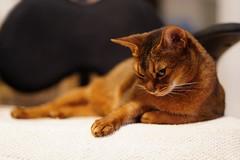 LizZie shy (DizzieMizzieLizzie) Tags: za 50mm f14 t planar zeiss animal dof bokeh golden pet classic pose a7iii ilce7m3 2018 ilce fe chat gatos neko sony pisica meow kot katze katt gatto gato feline cat portrait dizziemizzielizzie lizzie aby abyssinian shy beauty