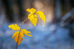 Blue and yellow (Pásztor András) Tags: nature winter snow leaf sun light yellow blue cold freeze forest foliage frosty dslr full frame nikon d700 hungary andras pasztor photography sigma 70300mm f456