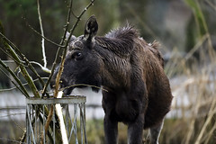 Elch (Michael Döring - thx for 20.000.000 views) Tags: gelsenkirchen bismarck zoomerlebniswelt zoo elch elk afs600mm40e d850 michaeldöring