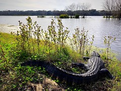 Alligator sunning at 40-Acre Lake in Brazos Bend State Park (1/17/2019) (stalnakerjack) Tags: park brazosbendstatepark nature wildlife reptiles alligators