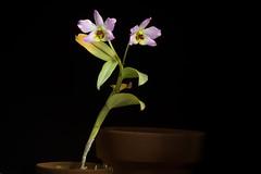 [Vietnam] Dendrobium trantuanii Perner & X.N.Dang, Orchidee (Hamburg) 54: 220 (2003)