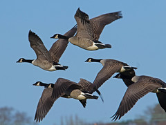 Canada geese in flight - RSPB Exminster Marshes - Exeter, Devon - Jan 2019 (Dis da fi we) Tags: canada geese flight rspb exminster marshes exeter devon branta canadensis