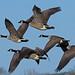Canada geese in flight - RSPB Exminster Marshes - Exeter, Devon - Jan 2019