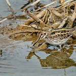 Jack Snipe by Andrew Chu