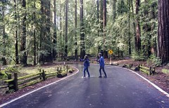Abbey Road in the California redwoods (PeterThoeny) Tags: bigbasin bouldercreek california siliconvalley usa sanfranciscobay sanfranciscobayarea southbay forest tree road people walk crosstheroad day outdoors sony a6000 selp1650 1xp raw photomatix hdr qualityhdr qualityhdrphotography bigbasinredwoodsstatepark statepark park wood sequoiasempervirens sequoia coastalredwood californiaredwood redwood fav100