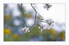 SHF_8243_Bauhinia variegata (Tuan Râu) Tags: 1dmarkiii 14mm 100mm 135mm 1d 1dx 2470mm 2019 50mm 70200mm canon canon1d canoneos1dmarkiii canoneos1dx bauhiniavariegata flowers hoa dof bokeh blue yellow white beautiful beauty tuanrau tuan tuấnrâu2019 râu httpswwwfacebookcomrautuan71