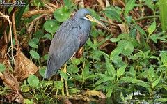 You will never know until you tri (Shannon Rose O'Shea) Tags: shannonroseoshea shannonosheawildlifephotography shannonoshea shannon tricoloredheron heron bird beak feathers redeyes yellowlegs yellowfeet wings leaves trees water circlebbarreserve lakeland florida nature wildlife waterfowl flickr wwwflickrcomphotosshannonroseoshea smugmug outdoors outdoor outside colorful colourful art photo photography photograph wild wildlifephotography wildlifephotographer wildlifephotograph egrettatricolor camera femalephotographer girlphotographer womanphotographer shootlikeagirl shootwithacamera throughherlens canon canoneos80d canon80d canon100400mm14556lisiiusm eos80d eos 80d canon80d100400mmusmii 2019 closeup close birdphotographer naturephotographer