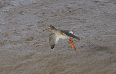 Redshank (wayne.withers1970) Tags: small pretty bird wings fly flight flying color colorful nature natural colour colourful wild wildlife wales winter flickr dof naturephotography country countryside outside outdoors alive fauna canon sigma light blur black white brown orange lake river sea coast feathers water wader waterfowl fine dark animal ripples kidwelly redshank