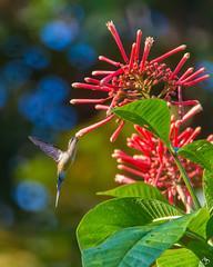 Moment magique. (alain_did) Tags: hummingbird bird nature naturephotograph naturallight naturepics naturalworld amazonie ameriquedusud guyanefrancaise flower colors bokeh feuilles vol
