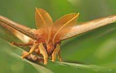 Attacus Atlas / Atlas / Atlas Moth (alainmaire71) Tags: insecte insect lepidoptera lépidoptère papillon moth saturniidae attacusatlas atlasmoth macro papillontropical tropicalmoth nature quebec canada