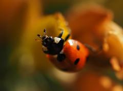 ladybird (Johnson Cameraface) Tags: 2019 february winter olympus omde1 em1 micro43 mzuiko 60mm macro f28 johnsoncameraface ladybird ladybug insect coccinellidae gorse