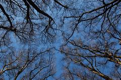 winter beech canopy (Francis Mansell) Tags: tree beech sky forest woodland plant fagussylvatica eppingforest wood