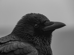 Carrion Crow (Andy Jah) Tags: bird animals naturephotography nature outside mono lumix blackwhite crow