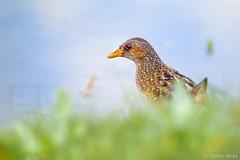 Il voltolino (Silvio Sola) Tags: silviosola centrocicogneanatidiracconigi voltolino uccello bird palude swamp porzanaporzana