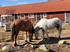 Hon och han… (Patrick Strandberg) Tags: sweden östergötland bergagård freyda freydafrånblixtorp benji icelandichorses islandshästar horses hästar iphone iphonex