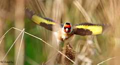 Goldfinch through the reeds at Lunt Meadows (Ted Humphreys Nature) Tags: goldfinch finches britishisles tedhumphreysnature