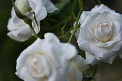 Rose 'Swan Lake' raised in UK (naruo0720) Tags: rose englishrose swanlake bredbymcgredy englishrosescollection バラ イギリスのバラ スワンレイク イギリスのバラコレクション マグレディのバラ 2nikons camerasigma lensesd810sigma 105mm f28 ex dg os hsm nikonscamera d810 sigmalenses sigma sigma105mmf28exdgoshsm