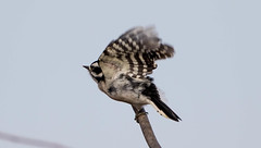 7K8A6969 (rpealit) Tags: scenery wildlife nature wallkill river national refuge downy woodpecker bird