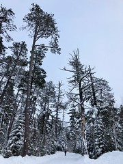 Tall pine trees at the start of Caribou Rock Trail in the Boundary Waters Canoe Area Wilderness BWCA in Northern Minnesota (thstrand) Tags: borealforest easternwhitepine woodlands woodland northwoods publiclands arrowheadregion usfw usforestservice superiornationalforest bwcaw middleoftheroad roads plowedroad transportation walking oneperson cold snowy snow stateparks statepark forests forest evergreens evergreen scrubpine greypine pinusbanksiana jackpines jackpine pinetree coniferous conifers conifer northernminnesota mn unitedstates northamerica american nature scenicview scenery rural minnesota boundarywaterscanoeareawilderness road large tall pines pinetrees winter bwca