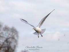 (charlottejarvis@live.co.uk) Tags: flight england uk thames marlow seagull