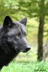 Louve du Canada_MORANE (Passion Animaux & Photos) Tags: loup canada canadian wolf parc animalier saintecroix france