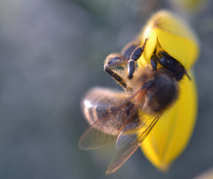 honey bee on gorse (conall..) Tags: desenfoque outoffocus narrow dof selective focus nikon afs nikkor f18g lens 50mm prime primelens nikonafsnikkorf18g closeup raynox dcr250 macro county down tullynacree nw551041 annacloy field northernireland bee honeybee apis mellifera apismellifera pollination flower ulex europaeus gorse bush shrub scrub ulexeuropaeus