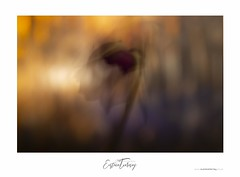 (Eustace Tierney) Tags: orange warm bokeh blur impressionism abstract rose plants flower