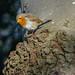 Rotkelchen (KaAuenwasser) Tags: vogel vögel baum holz natur rotkelchen federn