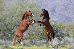 Posing nicely! (littlebiddle) Tags: horse mammal stallions arizona saltriver