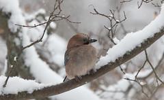 Jay I Närhi (Eija Fogelholm) Tags: eurasianjay garrulusgrandalius jay närhi