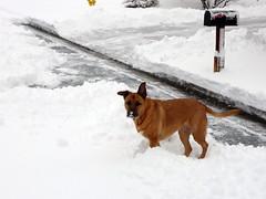 Snow dog (again) (simonov) Tags: bella dog hund chien 狗 σκύλοσ madra cane 犬 perro 개 سگ собака الكلب germansheprador winter snow