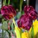Vystančios tulpės