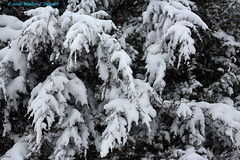 Late February Snow No 4, Someone has to Carry that Weight (Yeah, Beatles) (Walt Snyder) Tags: canoneos5dmkiii canonef100400mmf4556l winter 2019 february snow snowfall snowstorm evergeen snowcovered branches abstract