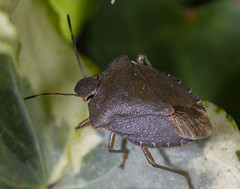 Green Shield Bug (Mike Serigrapher) Tags: garden woodley stockport macro 100mm pentax palomena prasina green shield bug