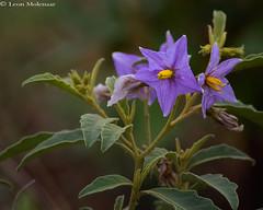 Wild Flowers (leendert3) Tags: leonmolenaar southafrica krugernationalpark wildlife nature wildflowers ngc npc