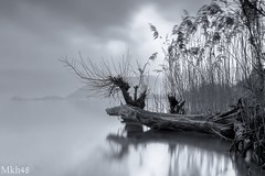 Déracinement (paul.porral) Tags: flickr ngc paysage landscape landschaft lake winter trees water monochrome mono longexposure poselongue countryside nature outside clouds fog foggy mist brume refletsmiroir