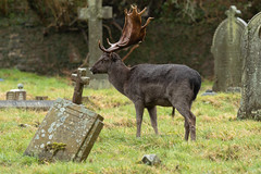 Cemetery Fallow Buck (Thomas Winstone) Tags: england unitedkingdom gb buck antlers canonuk canon 300mm28mk2 mammal mammals uk countryside outdoor forest forestry wild wildlife nature canon1dxmark2 3lt 3leggedthing thomaswinstonephotography bbc springwatch bbcspringwatch nationalgeographic fallowdeer