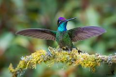 Wings of the Talamanca (Osprey-Ian) Tags: talamancahummingbirdmale costarica paraisoquetzallodge