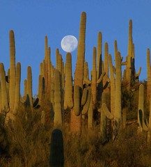 Setting full moon over Saguaro Cacti, San Pedro River Valley, AZ (Lon&Queta) Tags: 2016 arizona cacti desert flickr gps landscapes moon mountains pinalcounty saguarocactuscarnegieagigantea sanpedrorivervalley usa unitedstatesofamerica