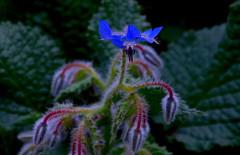 Azul-Blue.- (angelalonso57) Tags: canon eos 7d mark ii tamron 16300mm f3563 di vc pzd b016 ƒ63 3000 mm 1160 200 colours flower colori photo enfoque flor desenfoque fotografia composicion