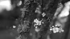 Blossom (ShinyPhotoScotland) Tags: art photography equipment camera lens nature places scotland perthshire light landscape emotion rawconversion manipulated composite hdr enfuse digikam elegance flora toned contrasts trees happy zen moment tranquil rawtherapee blur closeup blackandwhite sharpsoft existentialist monochrome relaxed depthoffield narrowdof bokeh auchterarder rural mixedlight blossom sonya7r3 sigma35mmart tree apple cherry focus garden street sharp