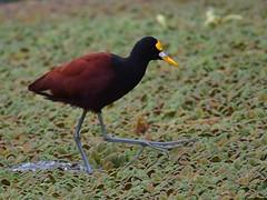 Northern Jacana (anacm.silva) Tags: northernjacana jacana ave bird wild wildlife nature natureza naturaleza birds aves lafortuna arenal costarica jacanaspinosa coth5