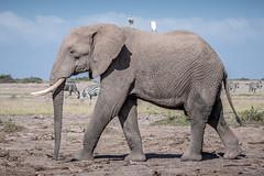 Elephant and Friends (helenehoffman) Tags: africa elephant loxodontaafricana kenya conservationstatusvulnerable africanbushelephant amboselinationalpark animal mammal